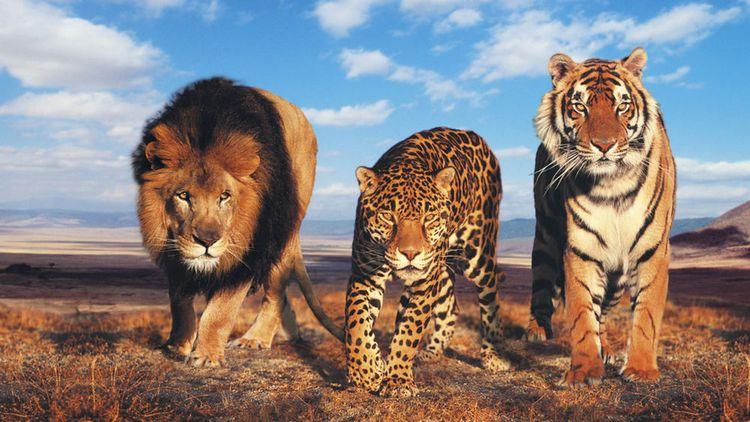 Лев, тигр и леопард