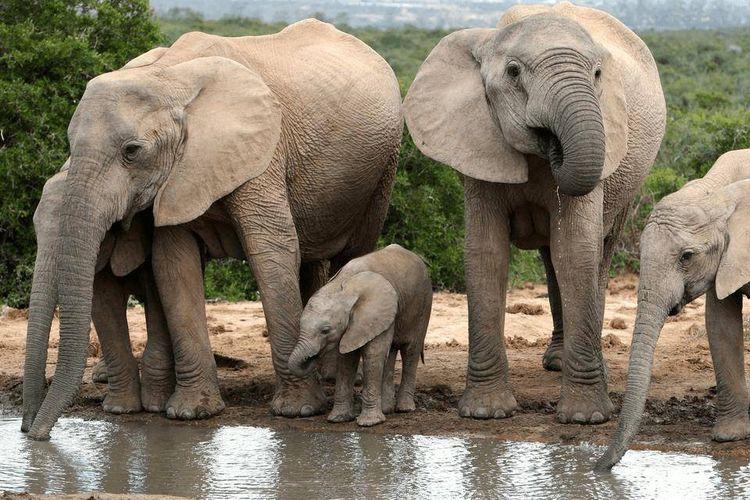 Слоны и слоненок