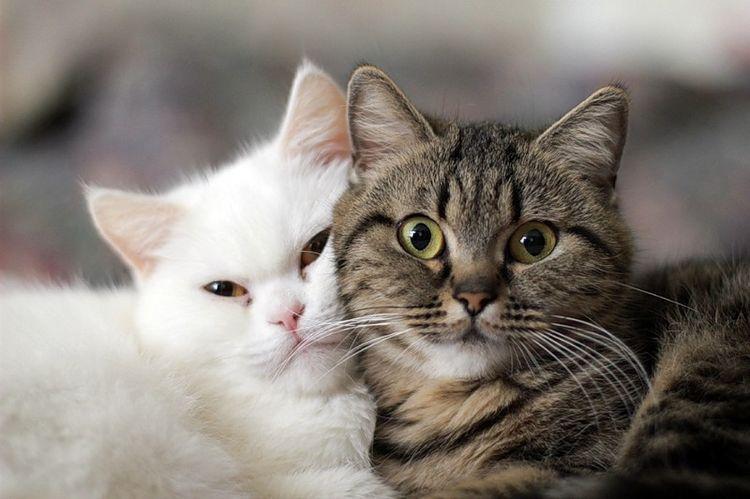 Белая кошка и полосатый кот