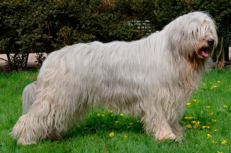 Южнорусская овчарка порода
