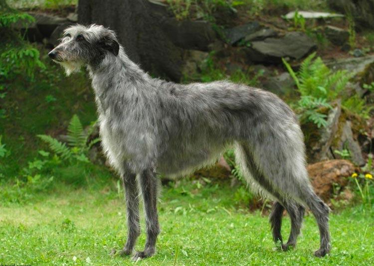порода собак Дирхаунд