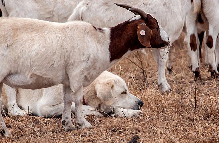 кувас охраняет стадо