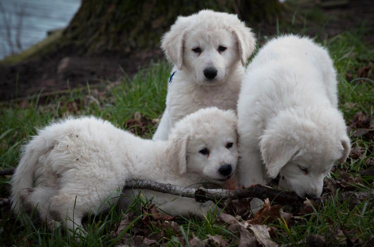 три щенка породы кувас