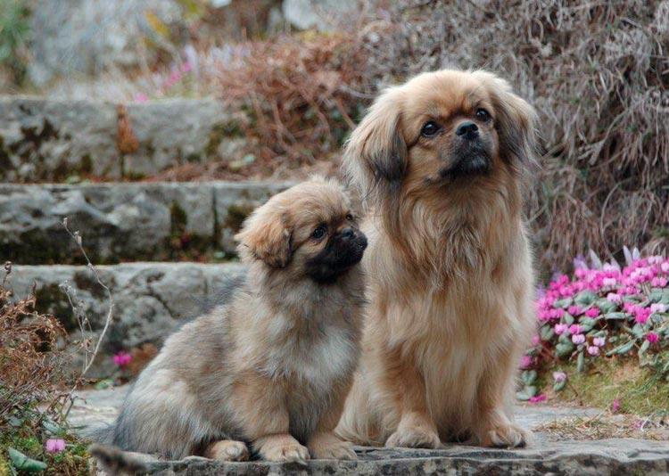 Тибетский спаниель со щенком