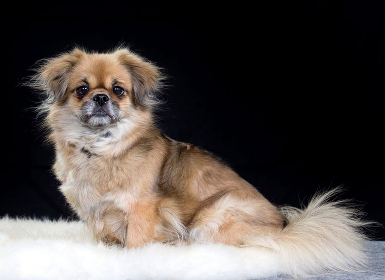 собака породы Тибетский спаниель