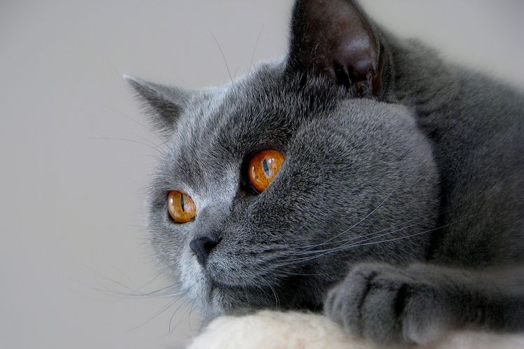 Британская кошка с желтыми глазами