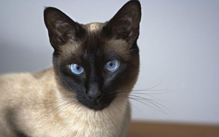 Сиамская кошка с голубыми глазами