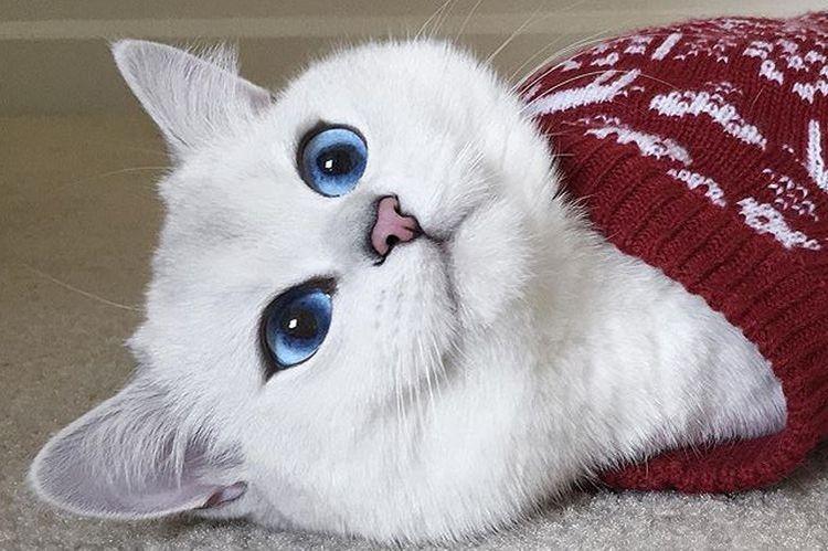 Голубоглазый кот породы британская короткошерстная