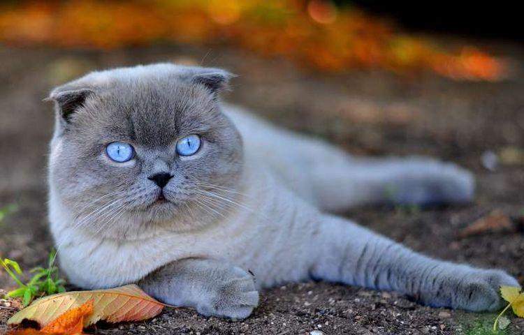 Голубоглазый скоттиш фолд
