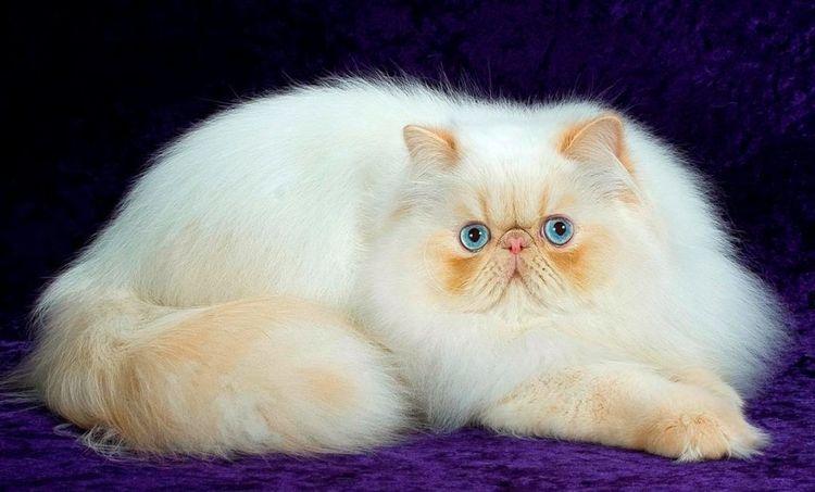Голубоглазый персидский кот