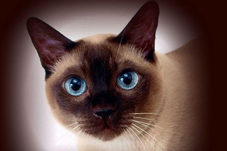 Милая сиамская кошка