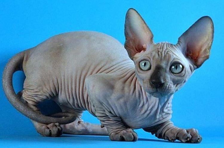 Кот бамбино