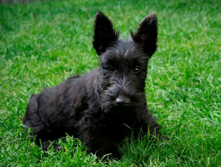 Скотч-терьер щенок