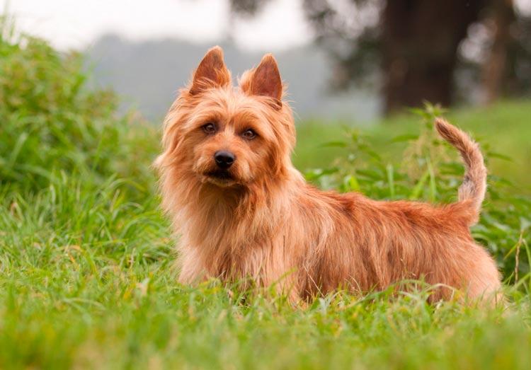собака породы австралийский терьер