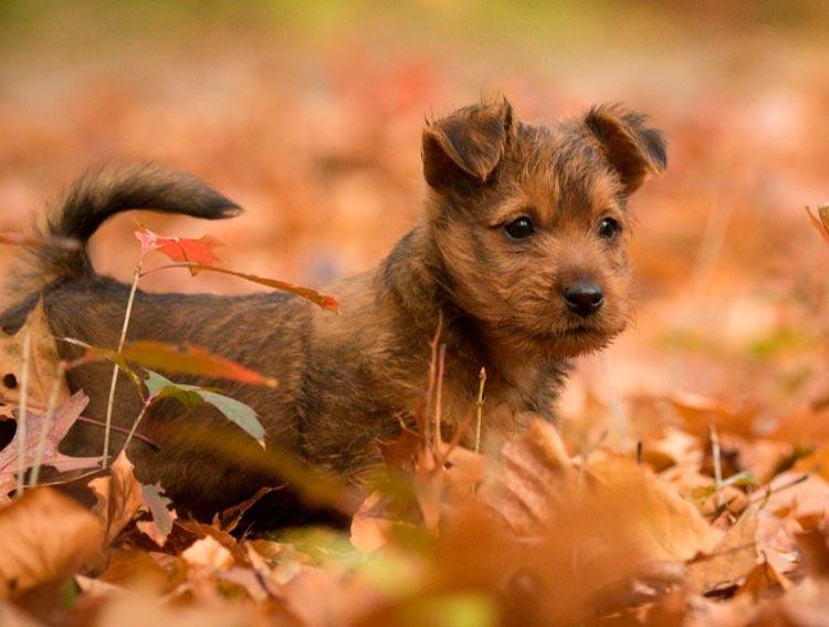 австралийский терьер щенок
