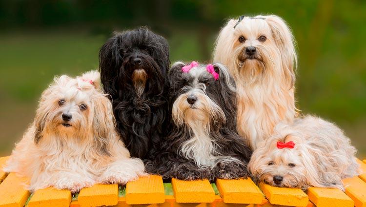 собаки породы гаванский бишон