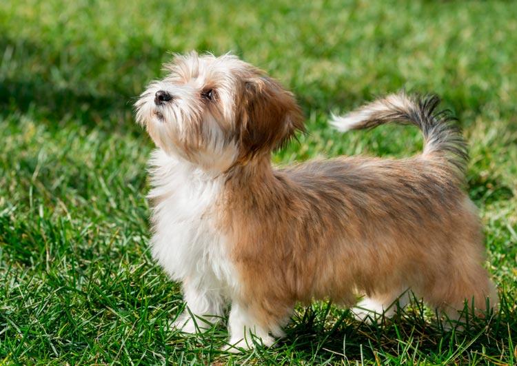 гаванский бишон щенок из питомника