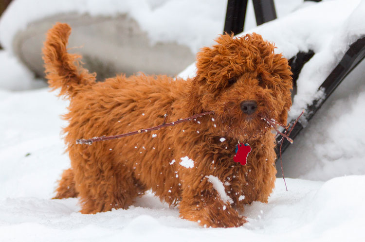 рыжий щенок Лабрадудль