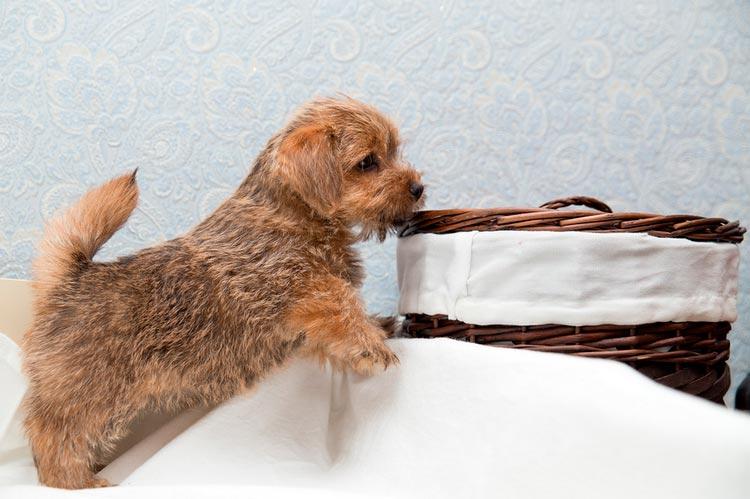 норфолк терьер щенок