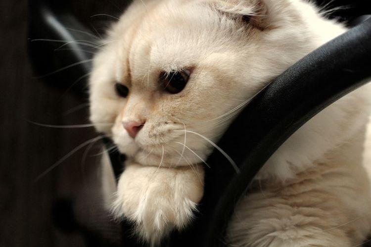 Грустный белый кот