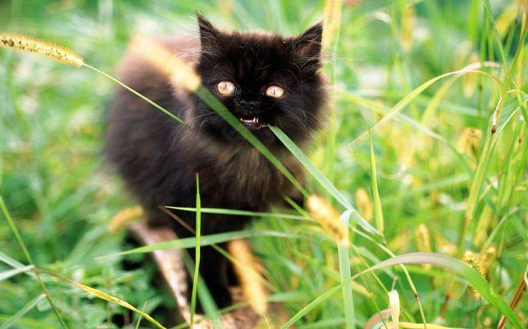 Черный кот ест траву