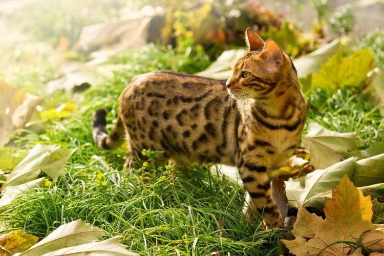 Кошка пятнистая, как леопард