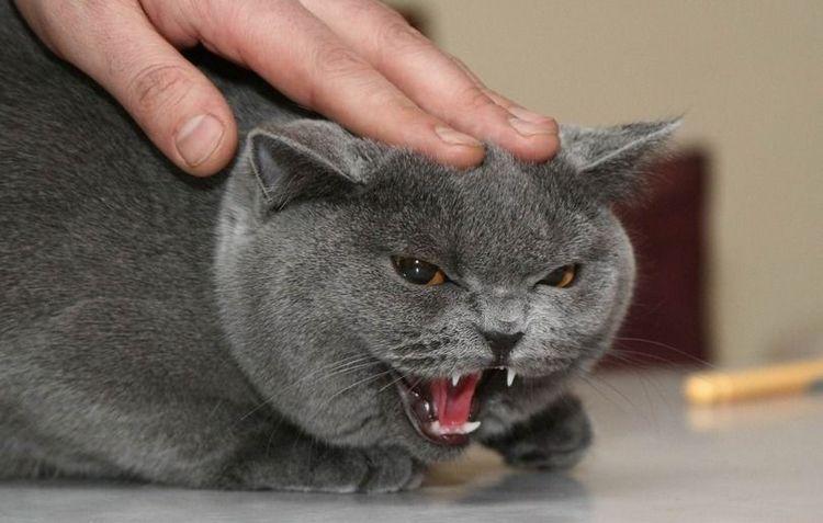 злой шотландский кот