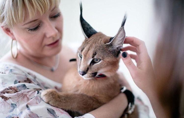 Фелинолог с котом породы каракал