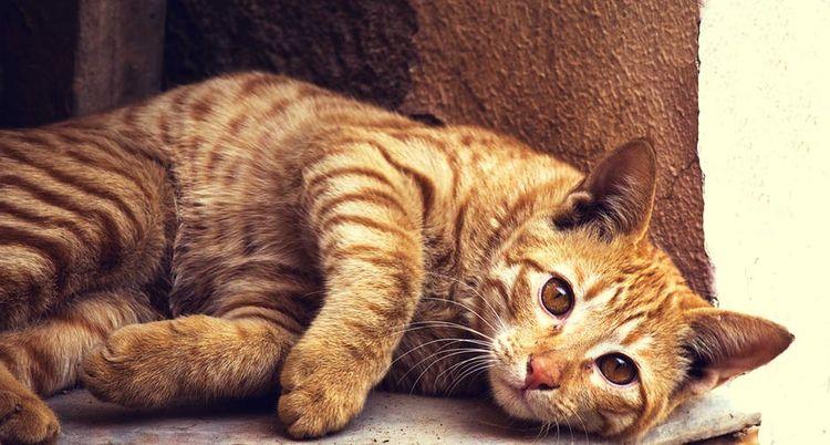 Рыжий кот лежит на боку