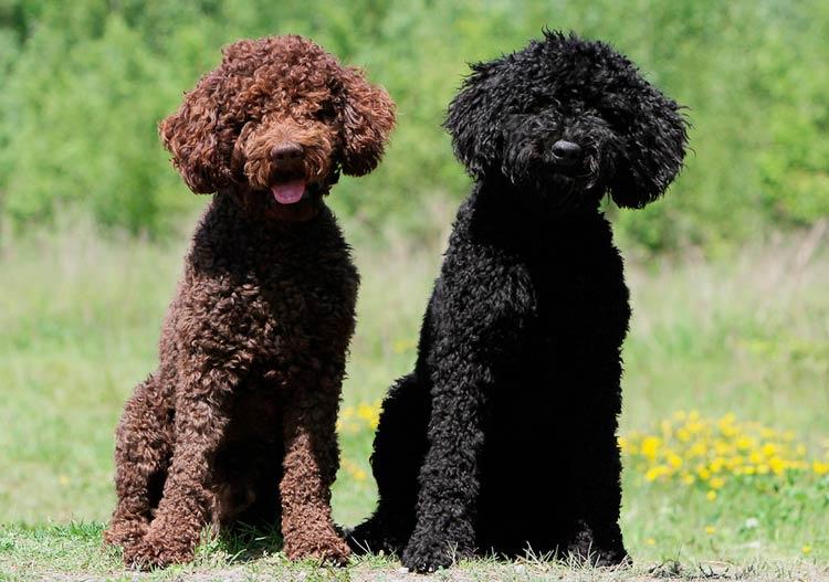 две собаки породы барбет