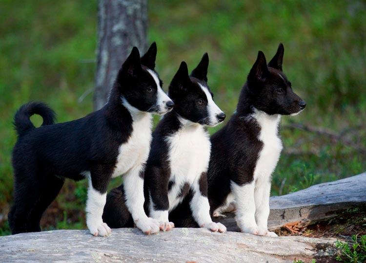 щенки карельской медвежьей собаки