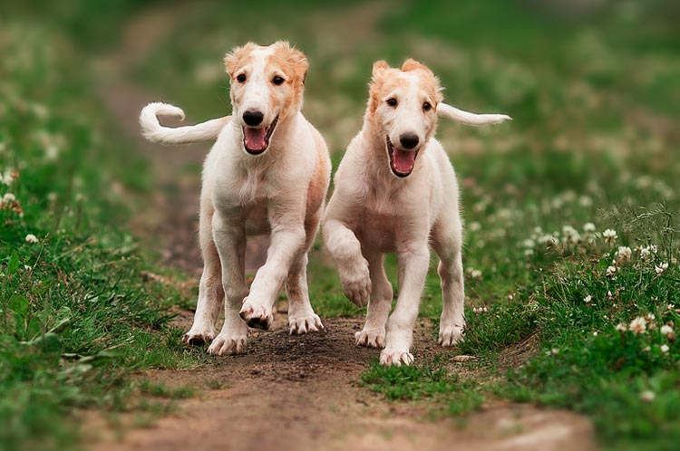 два щенка Русская псовая борзая