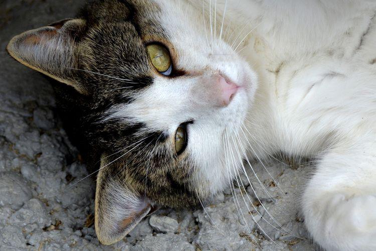 Кошка с белой грудью