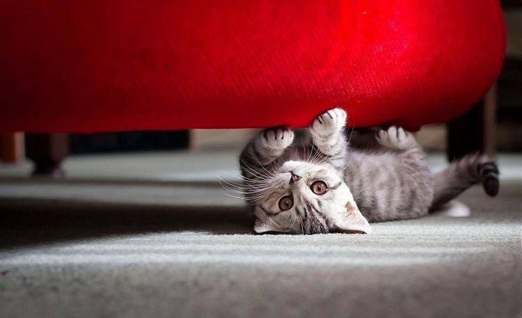 Кот под красным диваном