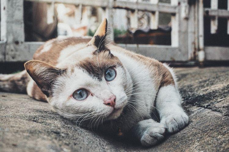Лейкемия у кошки