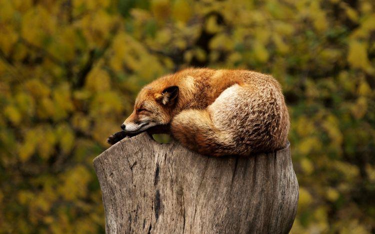 Лиса спит на пне