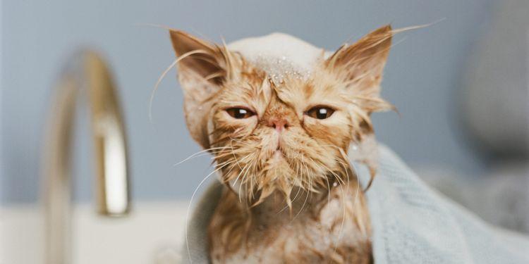 Как мыть кошку