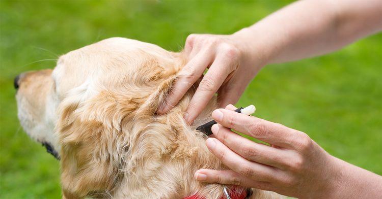 Обработка собаки от клещей