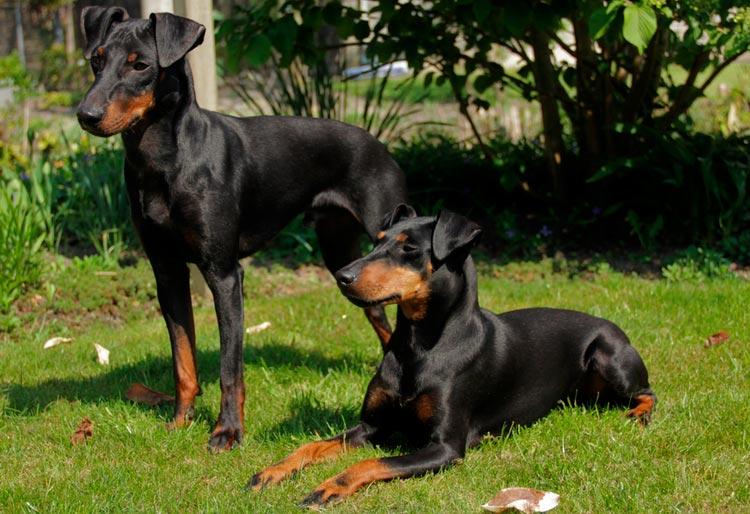 две собаки породы манчестер терьер