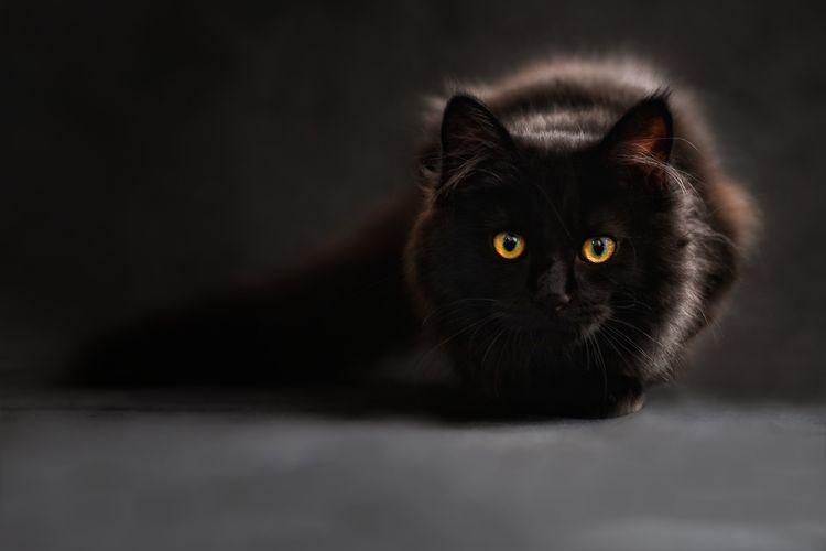 Черная турецкая ангора