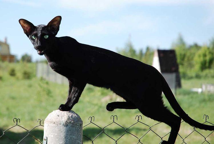 Ориентальная кошка черного цвета