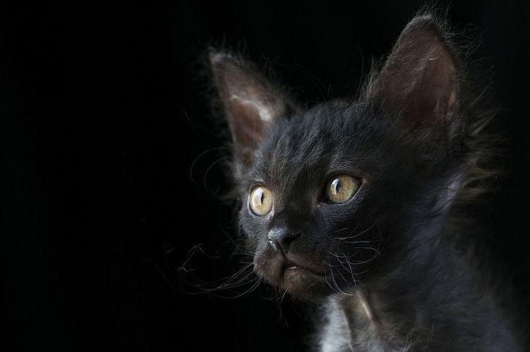 Черный лаперм