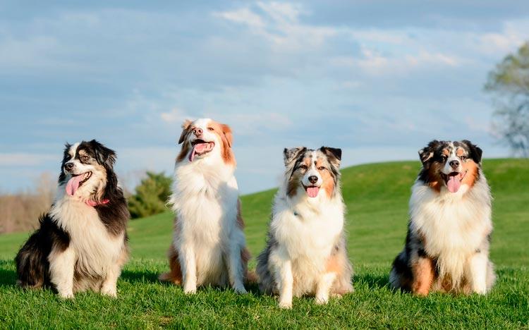 четыре австралийских овчарки