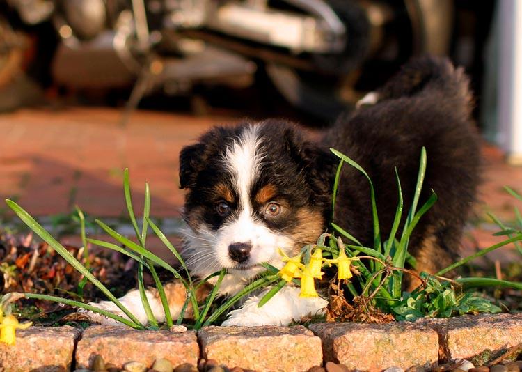 Австралийская овчарка щенок