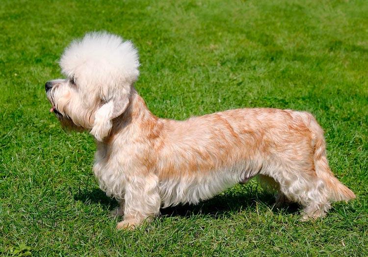 собака породы Денди-динмонт-терьер