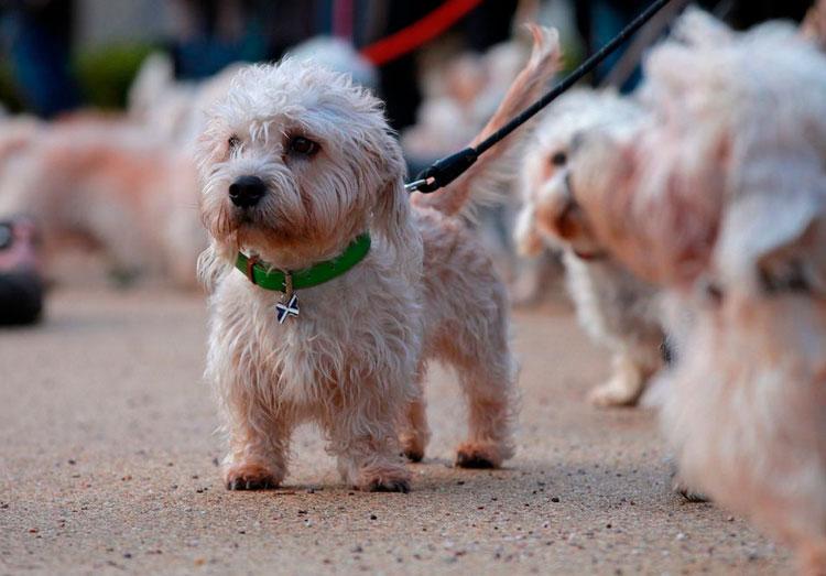 порода собак Денди-динмонт-терьер