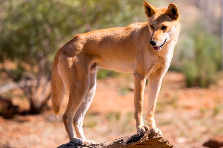 Австралийская дикая собака динго