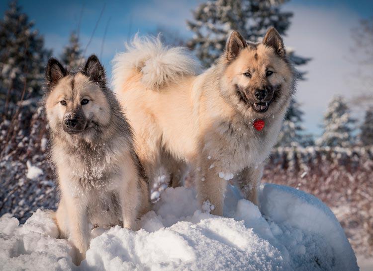две собаки породы Евразиер