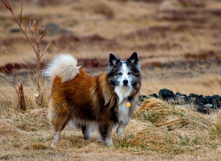 порода Исландская собака