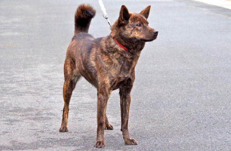 собака породы каи